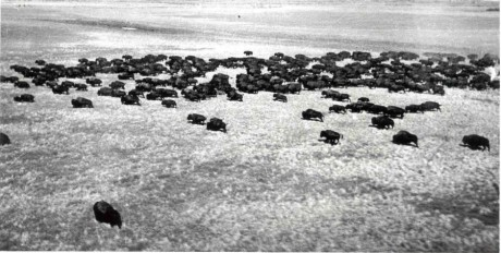 Bison population survey photograph, Wood Buffalo National Park (17 July 1946)